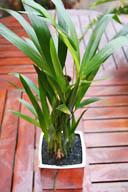 chrysalicarpus lutescens